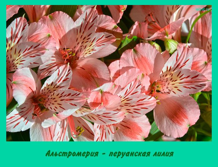 Альстромерия - перуанская лилия